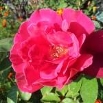 Wallpaper flor rosa