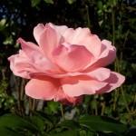 Wallpaper flor rosa claro