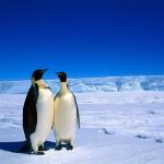 Fondo de pantalla Pareja de pingüinos
