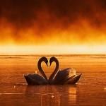 Fondo Pantalla cisnes en el lago en toño