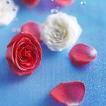 Fondo de pantalla rosas roja y blanca