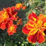 Wallpaper flores naranjas