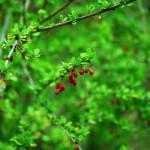 Wallpapers primavera, naturaleza verde con frutos rojos