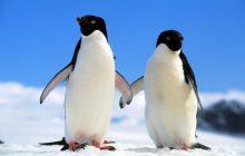Fondo de pantalla Pingüinos enamorados