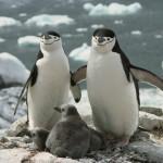 Fondo de pantalla Familia de pingüinos