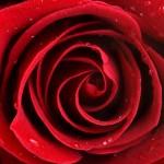 Wallpaper rosa roja