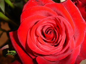 Rosa roja: símbolo del amor
