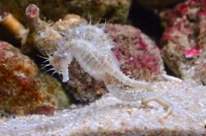 Pareja de caballitos de mar