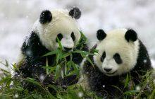 Wallpaper pareja de osos panda