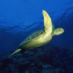 tortuga nadando