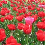 Fondo de pantalla tulipanes rojos